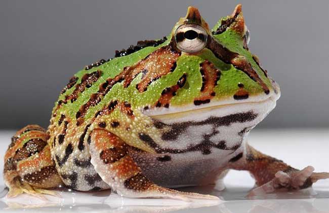 霸王角蛙价格行情