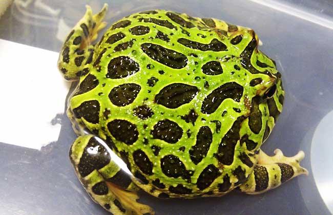 角蛙的饲养方法