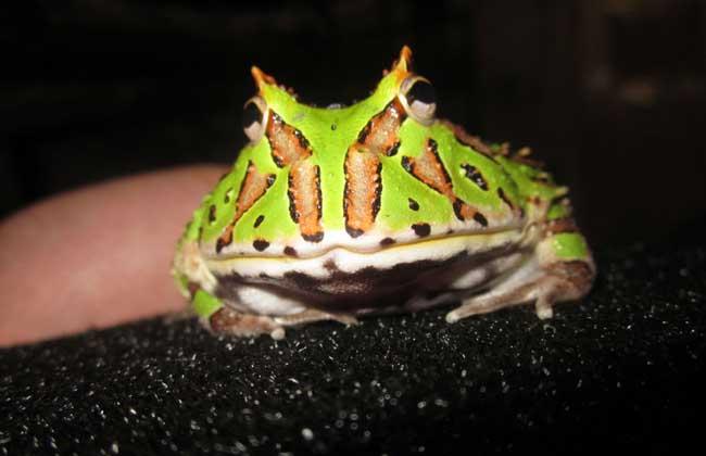 蝴蝶角蛙寿命多长