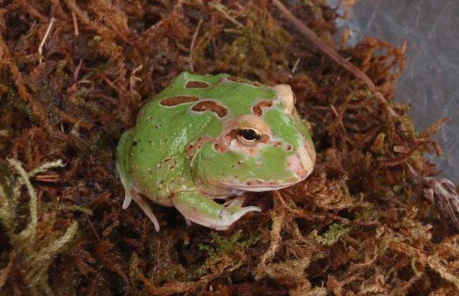 角蛙饲养环境