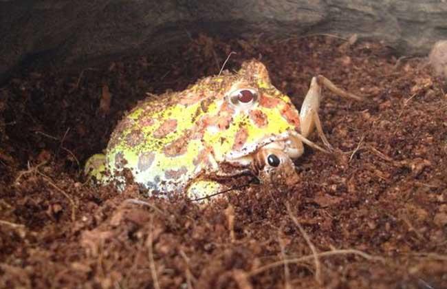 黄金角蛙价格行情