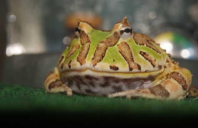 霸王角蛙图片
