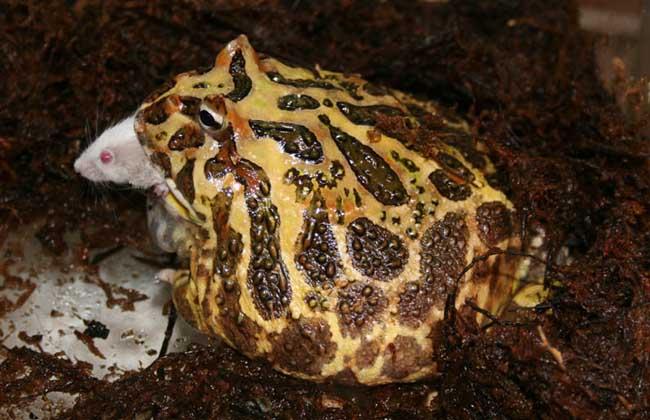 角蛙的生长发育