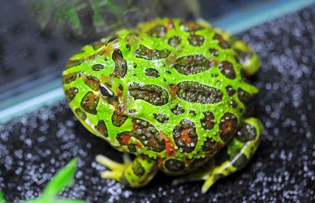 角蛙饲料种类选择