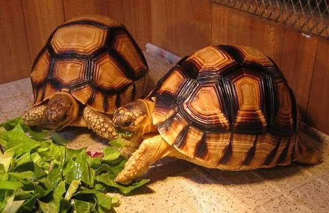陆龟会游泳吗?