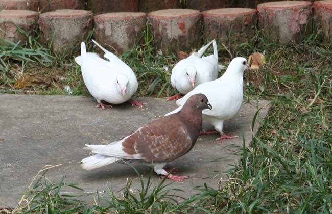 养什么鸽子最赚钱