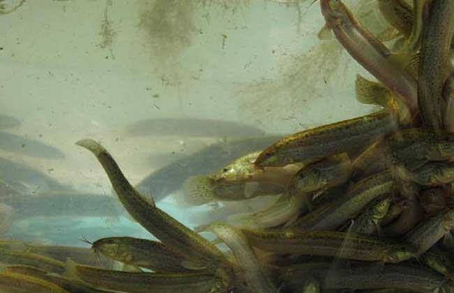 养殖泥鳅投资多少钱?