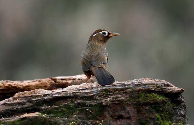 画眉鸟饲养方法