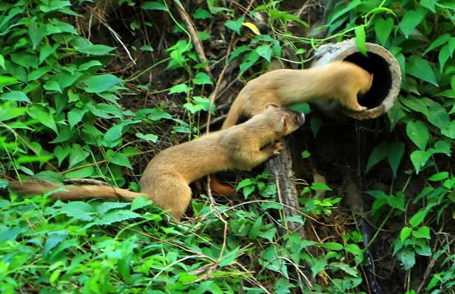 黄鼠狼吃什么食物