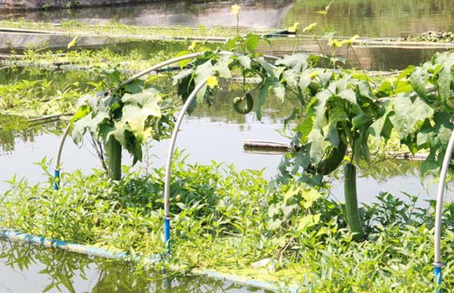 水上蔬菜种植