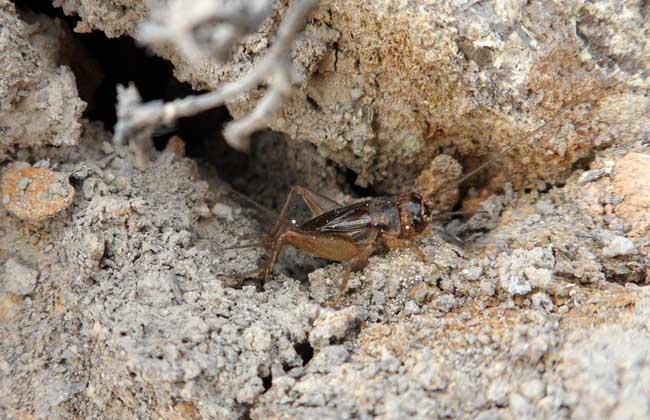 蟋蟀的生活习性