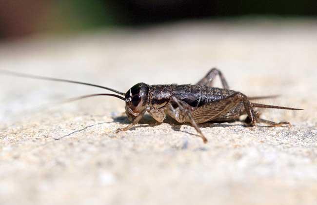 蟋蟀的养殖技术