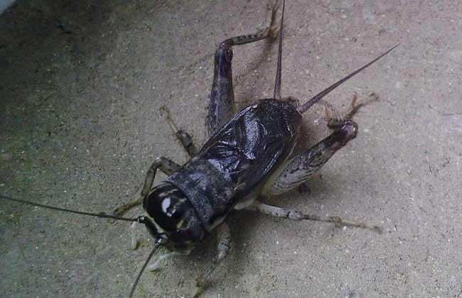 为什么蟋蟀会鸣叫