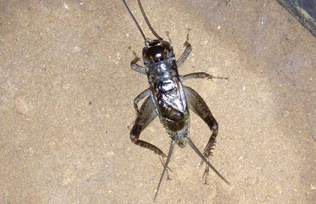 蟋蟀和蛐蛐的区别