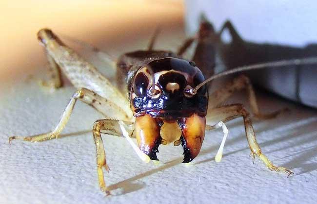 蟋蟀品种图片
