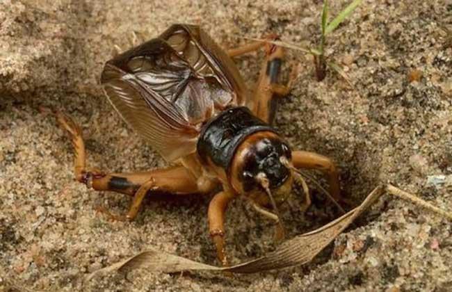 斗蟋蟀养殖技术