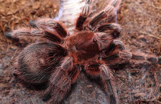 火玫瑰蜘蛛图片