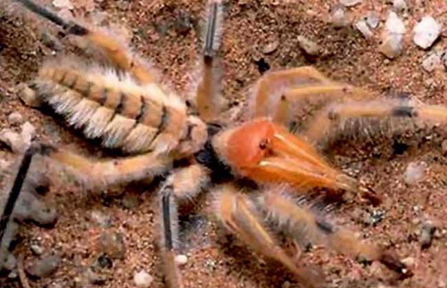 骆驼蜘蛛图片