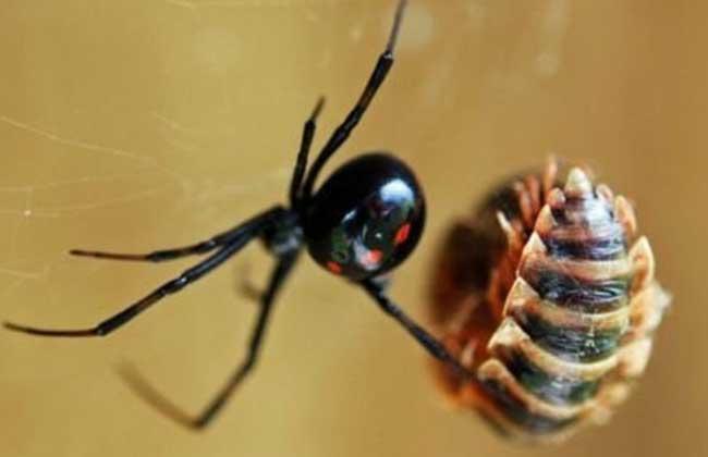 黑寡妇蜘蛛图片