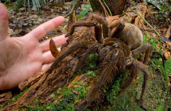 亚马逊巨人食鸟蛛