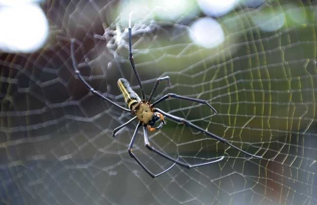 蜘蛛的天敌