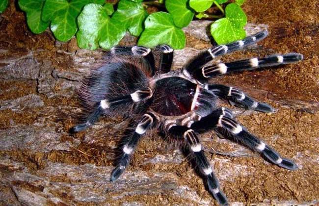 宠物蜘蛛种类图片大全