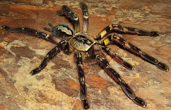 印度华丽雨林蜘蛛
