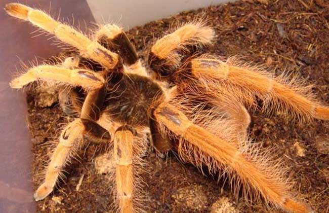 哥伦比亚红脚蜘蛛