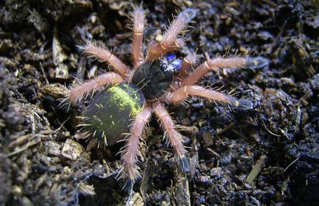 新几内亚蓝牙蜘蛛