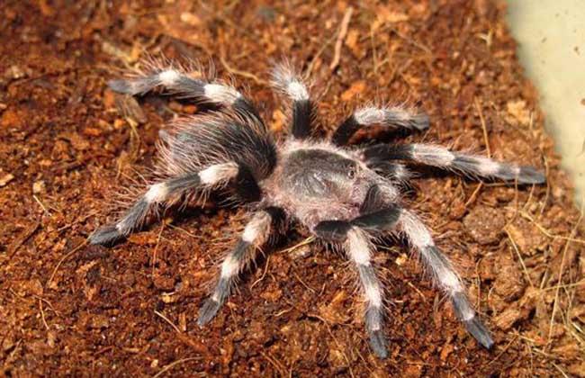 巴西黑白脚蜘蛛