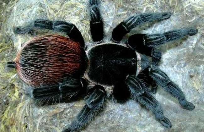墨西哥红尾蜘蛛