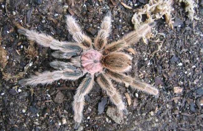 火玫瑰蜘蛛寿命是多长