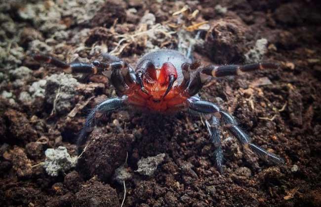 悉尼漏斗网蜘蛛