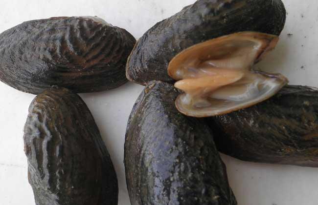 河蚌能吃吗