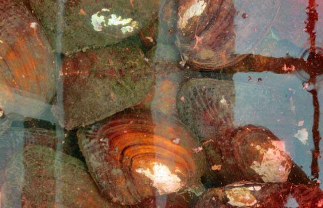 珍珠蚌养殖技术