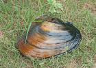 河蚌的呼吸器官是什么