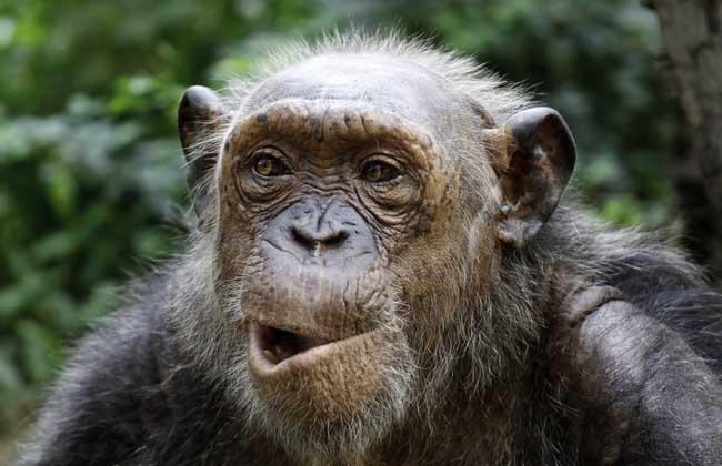 中国猴子种类_农业专题 > 猴子  3,藏酋猴:藏酋猴是中国猕猴属中最大的一种,栖息于