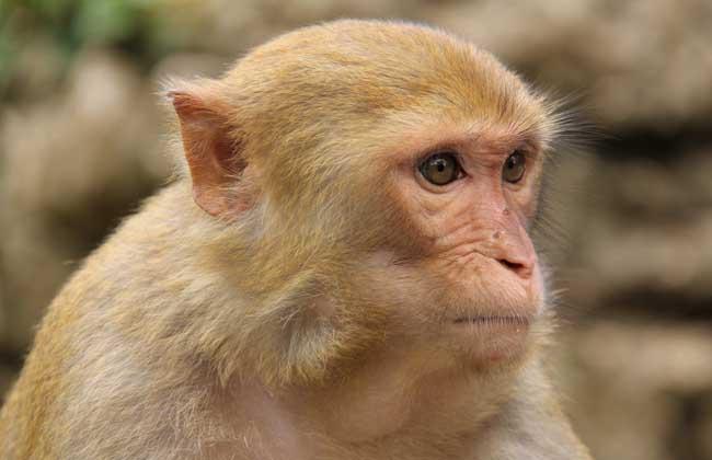 养猴子会犯法吗?