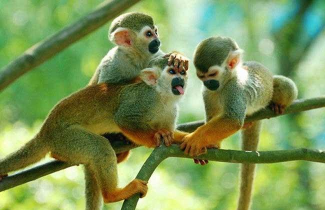 蜘蛛猴 蜘蛛猴因为它们的身体和四肢都很细长,在树上活动时,远远望去就像一只巨大的蜘蛛,故得此名。头又圆又小,尾巴比身体还长,毛多且密,没有拇指,能直立行走。在树上活动时用细长的四肢纵跃或爬行,还能用长尾巴缠绕在树枝上荡来荡去,分布在墨西哥以南到巴西的广大地区,生活在中南美洲的热带雨林里。
