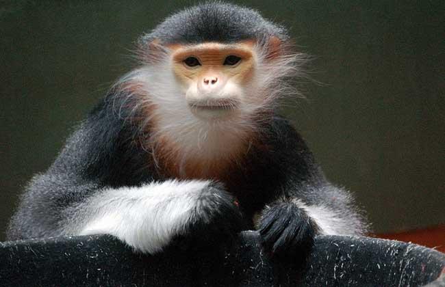 中国猴子种类_猴子种类图片大全