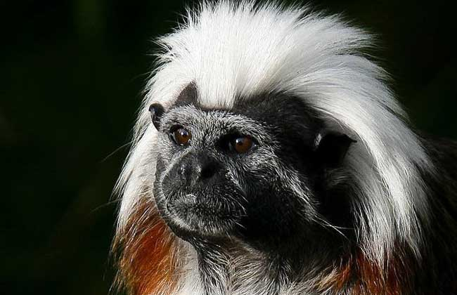 绒顶柽柳猴