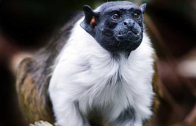 黑白柽柳猴
