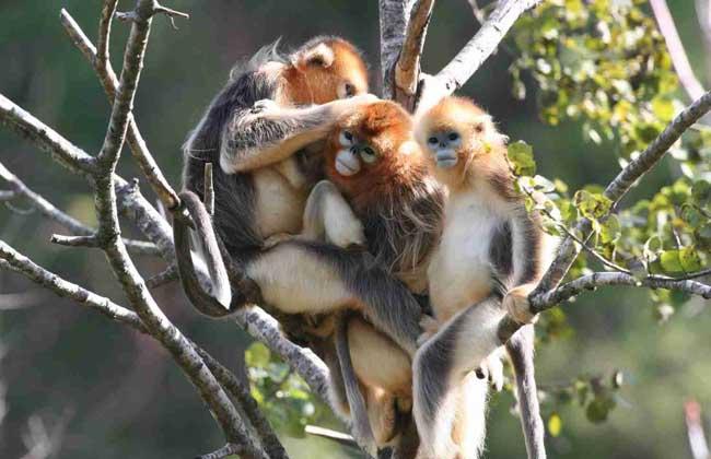 金丝猴的生活习性