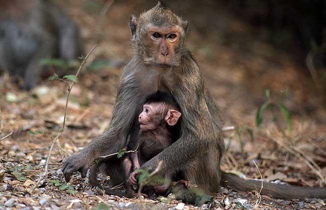 猕猴的生活习性