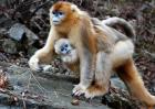 金丝猴种类图片大全