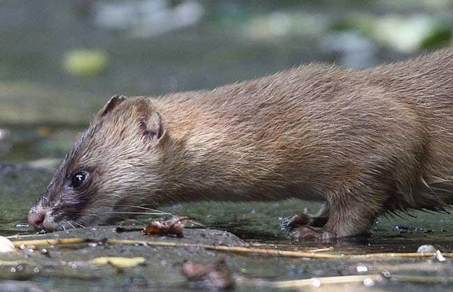 黄鼠狼养殖技术