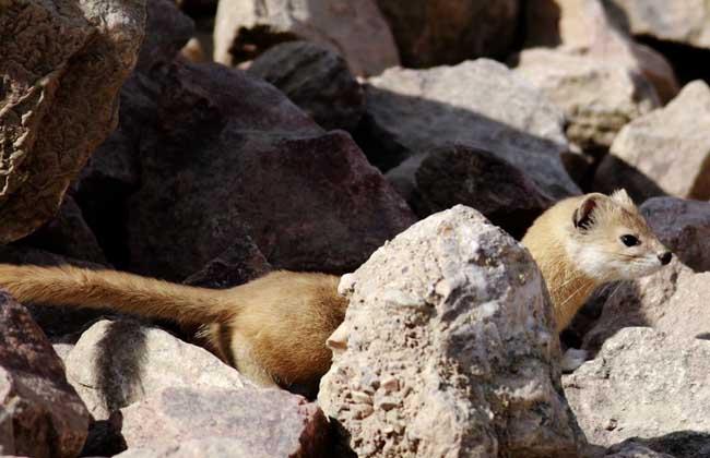 黄鼠狼是保护动物吗?