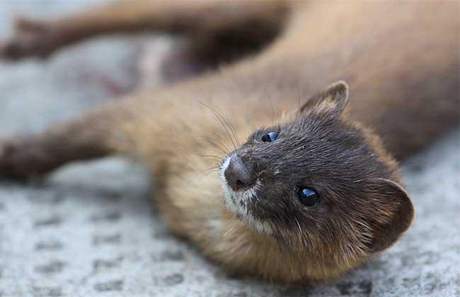 黄鼠狼是保护动物吗