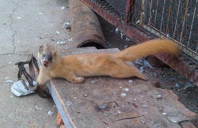 黄鼠狼捕捉方法