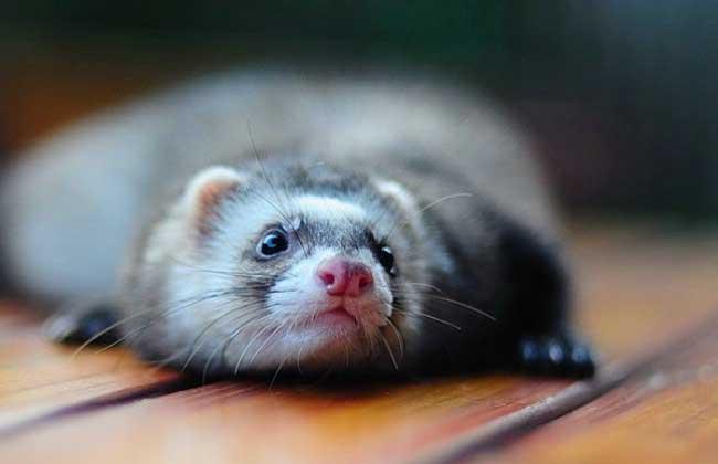 宠物黄鼠狼饲养方法